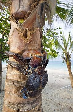 Coconut Crab, Robber Crab on Palmtree, Birgus latro, Marshall Islands, Bikini…