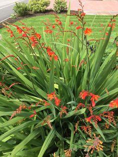 Montbretia (Crocosmia 'Lucifer') Crocosmia, Garden Plants, 1, Yard, Gardening, Patio, Lawn And Garden, Courtyards, Garden