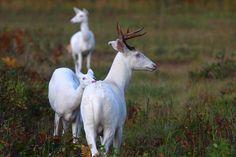 Albino White-tailed Deer of Boulder Junction Wisconsin - lifeinthenorthwoods Coyote Hunting, Deer Hunting, Boulder Junction, Albino Deer, Deer Photos, Rare Animals, Doberman Pinscher, Animal Quotes, Bouldering