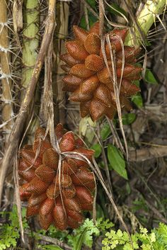 Buah Salak ( snake fruit ) native to Indonesia.  The fruits grow in clusters at the base of the palm.