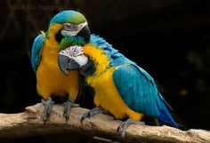 Beautiful Wood Kissing Birds Picture