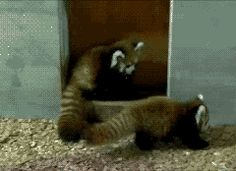 This red panda who just wanted to take a peaceful stroll, not be pounced upon by a hidden foe: