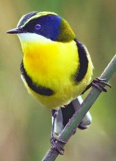 MANY-COLORED RUSH TYRANT is a strange name for a beautiful little bird.  His natural habitat is South America.