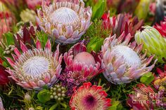 Protea Art Print by Cuson. All prints are professionally printed, packaged, and shipped within 3 - 4 business days. Choose from multiple sizes and hundreds of frame and mat options. Flor Protea, Protea Art, Protea Flower, Protea Bouquet, Dendrobium Orchids, Delphinium, Hawaiian Flowers, Tropical Flowers, Kansas State Flower