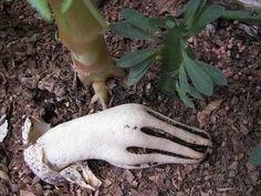mão de zumbi fungo http://noticiasanimais.com.br/