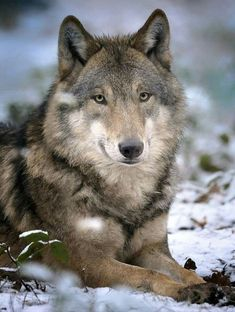 Wolf Gurus is the number 1 eCommerce site about wolf. until today we sell about Item About wolf, native america, viking, dream catcher. Pet Wolf, Wolf Husky, Beautiful Wolves, Animals Beautiful, Cute Animals, Wolf Photos, Wolf Pictures, Wolf Hybrid, Wolf World