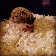 #hendrixthehedgehog #hedgehog Hedgehog, Animals, Animais, Animales, Animaux, Hedgehogs, Animal, Dieren, Pygmy Hedgehog