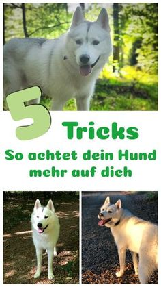 5 tips and tricks for how your dog pays more attention to Tipps und Tricks wie dein Hund mehr auf dich achtet Are you copied on the walk? Your dog doesn't even turn around? Then run dog training easily and with fun - Dog Training Classes, Dog Training Techniques, Dog Training Tips, Akita, Dog Shots, Free Dogs, Dog Hacks, Dog Care, Best Dogs