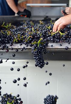Sorting Pinot Noir at our winery in Freestone on the West Sonoma Coast.