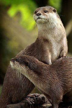 Otter leans on a friend to get a better look - Have to love these little guys Otters Cute, Baby Otters, Baby Sloth, River Otter, Sea Otter, Animals And Pets, Baby Animals, Cute Animals, Beautiful Creatures