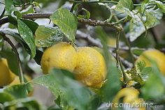 Download Lemons With Snow In The Garden Stock Image for free or as low as 0.15 €. New users enjoy 60% OFF. 20,181,102 high-resolution stock photos and vector illustrations. Image: 23167051