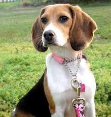 beagles - Buscar con Google