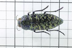 Metallic Wood Boring Beetle: Order Coleoptera: Family Buprestidae (Top) J. Cauthorn