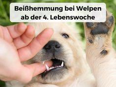 #Beißhemmung bei Welpen, ab der 4. Lebenswoche #Welpe #4Wochen