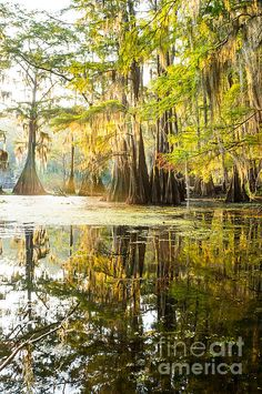 A beautiful reflection of a forest of bald cypress trees was seen in the morning sun at Caddo Lake State Park, TX.
