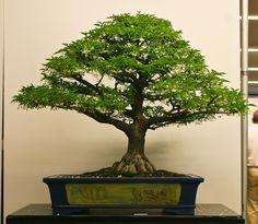 world bonsai convention 2009 | The Art of Bonsai Project - World Bonsai Convention 2009 - A Photo ...
