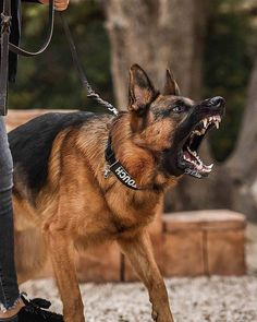 Wicked Training Your German Shepherd Dog Ideas. Mind Blowing Training Your German Shepherd Dog Ideas. German Shepherd Chihuahua Mix, German Shepherd Facts, German Shepherd Pictures, German Shepherds, Angry German Shepherd, Bulldog Breeds, Police Dogs, Working Dogs, Dogs And Puppies