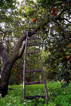 A long forgotten Apple Orchard w/missing rung on an old ladder that is temptingly close to a ripe red Apple