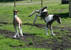Two yearling fillies learning how to use their legs.  Foals just seem to defy gravity