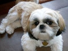 Cute Shih Tzu, reminds me of my Parker