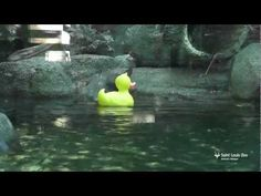 River otters meet Rubber Ducky at Saint Louis Zoo