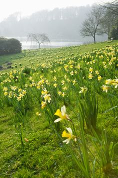Narcissi carpet the grass beside the lake at Stourhead, Wiltshire, in March