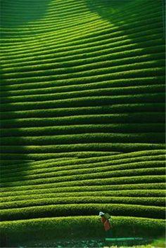 Tea plantation in Kyoto, Japan