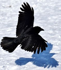 Picture of a common raven casting it's shadow as it fly's.