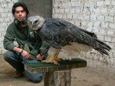 Harpy Eagle--favorite!