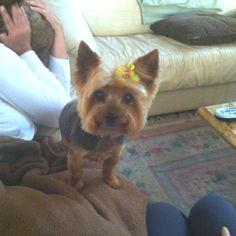 Yorkie puppy cut!