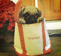 Truman the Pug