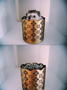 Ozzie the Hedgehog is now on Instagram! Follow him @dailydoseofozzie