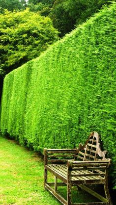 Specialising in evergreen screening plants, ever green hedges & hedging shrubs, vast selection to buy online with nationwide UK delivery London garden centre. Fast Growing Hedge, Fast Growing Evergreens, Conifer Trees, Trees And Shrubs, Garden Trees, Garden Planters, Leylandii Hedge, Tree Specialist, Gardens