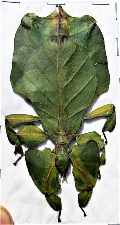 One Leaf Mimic Phyllium hausleithneri Female About Stick Bug Fast from USA