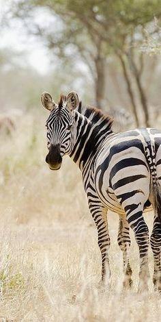 A race of plains zebra