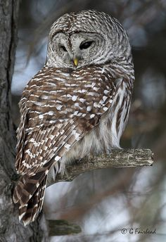 phototoartguy:  Barred Owl Hindsight by Gary Fairhead on Flickr.