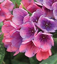 Lungwort (awful name, pretty flower!)
