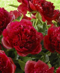 "Red Charm Peony~Recognized as the best deep red double, this 1944 award-winning Glasscock hybrid has gigantic, ruffled, bomb-type deep merlot-red flowers with full, piled-high peaked centers and a sweet-spicy fragrance. Rootstock size: 3 to 5 eyes. Bloom time:May/June. 34"" to 36"". HZ: 4-8."