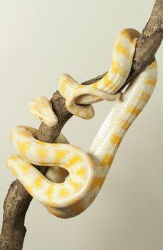 Albino Darwin carpet python