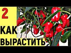 ВЫ СПРАШИВАЛИ КАК Я ВЫРАЩИВАЮ ПЕРЕЦ часть2 - YouTube Stuffed Peppers, Vegetables, Youtube, Red Peppers, Stuffed Pepper, Vegetable Recipes, Youtubers, Stuffed Sweet Peppers, Veggies
