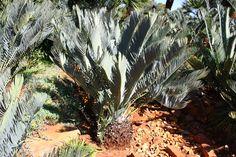Encephalartos Nubimontanus                    S A no 14,9
