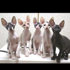 Cornish Rex kittens - lovely egg shaped heads and nice wide ears around the base. very cute.