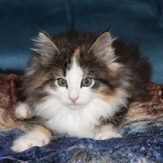 Borealis Norwegian Forest Cats Www.borealiscats.com  looks like Princess Fiona <3