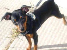 7 Best Rat Pinscher Images Miniature Doberman Pinscher Miniature