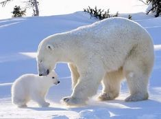Clean-up: The polar bear cub gets a tender lick from his doting mother. Baby Polar Bears, Cute Polar Bear, Cute Teddy Bears, Baby Pandas, Nature Animals, Animals And Pets, Wild Animals, Photo Ours, Teddy Bear Shop