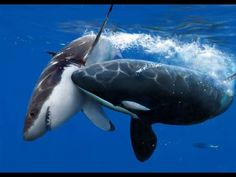 Dramatic raw footage of NOAA researchers tagging orcas with cross bows (killer whales) in Antarctica - YouTube