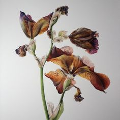 This pic found a new home today at the Society of Botanical Artists exhibition, so chuffed :) #botanical #watercolour #watercolor #botanicalart #botanicalwatercolor #iris