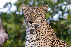 The leopard is a solitary animal (unless mating, or a mother with cubs). Considered to be one of the most successful of all African predators, the leopard is a master stalker