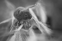 Little Mouse on some Wild Wheat by Jamie Unwin