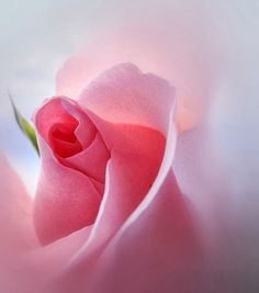 Passionately Pink - Pretty Rose This is absolutely beautiful, I love the dof, the soft pink, well done and thanks for sharing. Love Rose, Love Flowers, My Flower, Pretty Roses, Beautiful Roses, Pretty In Pink, Perfect Pink, Simply Beautiful, Floral Vintage